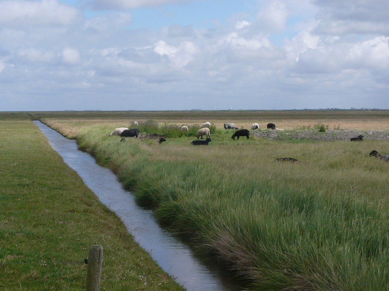 P1240710 Hallig Hooge Sheep